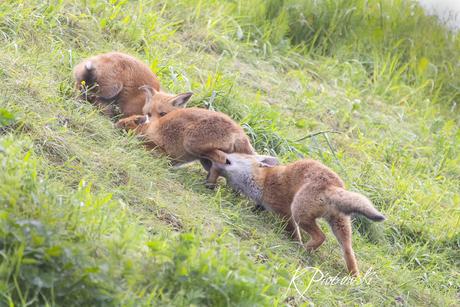 Foxpuberteit