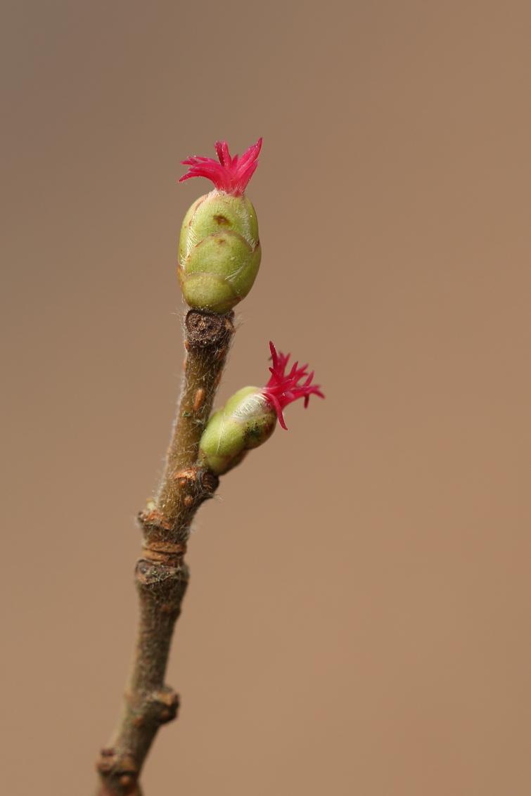 hazelaar - hazelaar - foto door jvriens op 11-04-2021 - deze foto bevat: hazelaar, lente, bloesem, plant, flora, fabriek, bloem, terrestrische plant, takje, bloemblaadje, bloeiende plant, pedicel, kunst, bod, macrofotografie