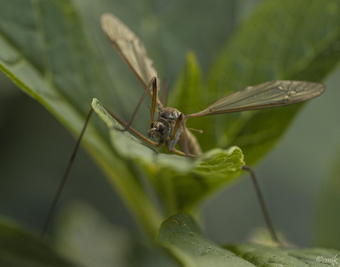 Langpootmug - Vorig jaar gefotografeerd in de achtertuin. - foto door copper-krijger op 05-05-2021 - deze foto bevat: langpootmug, macro, natuur, achtertuin, insect, laowa 100mm f2.8 ca-dreamer macro 2x, canon eos 90d, #zoomnl, fabriek, geleedpotigen, insect, libellen en damseflies, libel, takje, terrestrische plant, gras, plaag, vleugel