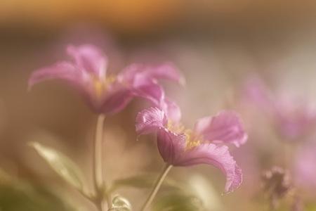 Clematis  - Dubbele belichting in de camera samengevoegd. - foto door Dodsi op 07-04-2021 - deze foto bevat: clematis, flora, bloemen, voorjaar, bloem, fabriek, plantkunde, bloemblaadje, terrestrische plant, takje, magenta, tinten en schakeringen, pedicel, hout