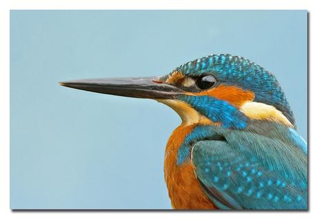 Portretje IJsvogel