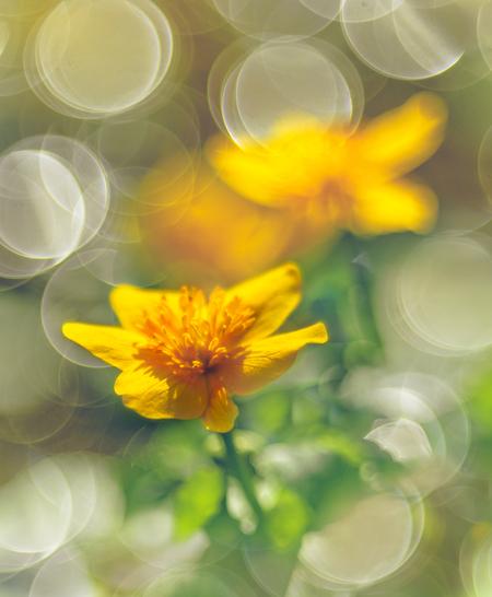 Sprankelende lente - De dotterbloem in een waterstroompje - foto door EJVH op 12-04-2021 - deze foto bevat: bloem, dotterbloem, macro, bloemen, bokeh, licht, geel, lente, vintage, meyer, projectielens, bloem, fabriek, bloemblaadje, eenjarige plant, bloeiende plant, serveware, waterplant, stuifmeel, macrofotografie, daisy familie