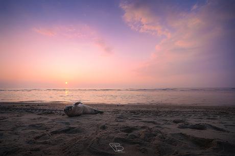 Zeehond bij zonsondergang Oostkapelle