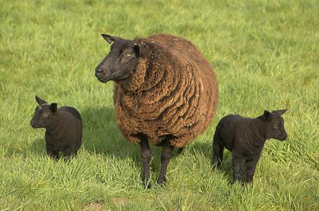 Hoezo het zwarte schaap
