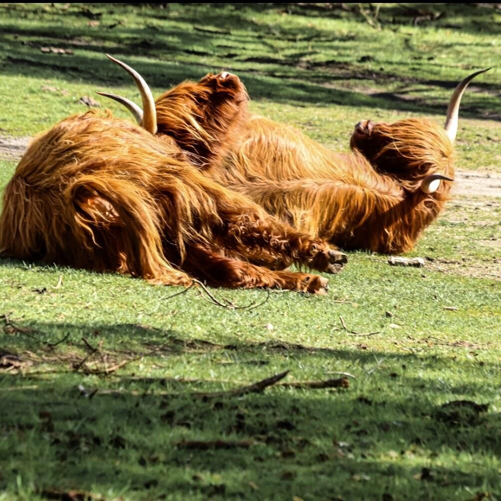 Zonnebaden - Relaxen in het zonnetje - foto door Erikvdzwan op 13-04-2021 - locatie: Wezepsche Heide, 8091 Wezep, Nederland - deze foto bevat: natuur, lever, fabriek, gras, felidae, terrestrische dieren, fawn, natuurlijk landschap, grasland, hoorn
