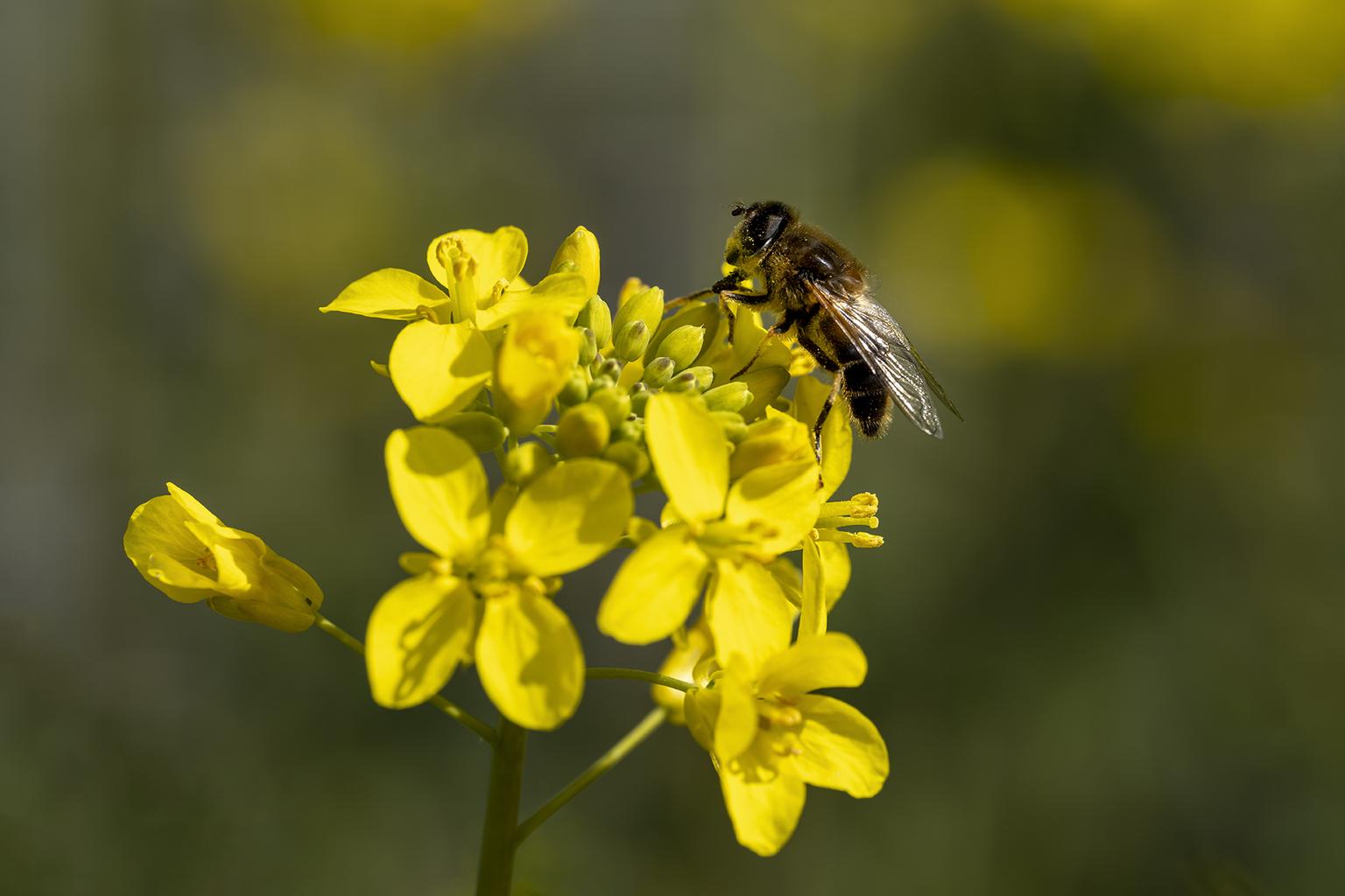 Bij op een gele bloem - Bij op een gele bloem - foto door stevendijk3 op 15-04-2021 - locatie: 3273 Westmaas, Nederland - deze foto bevat: bij, bee, natuur, insect, macro, bokuh, bloem, fabriek, bestuiver, geleedpotigen, insect, bloemblaadje, geel, honingbij, bloeiende plant, plaag