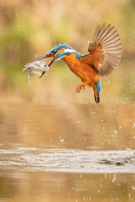 IJsvogel - Deze ijsvogel verloor bijna zijn net gevangen visje. - foto door Danielle-vanDoorn op 16-04-2021 - deze foto bevat: ijsvogel, natuur,, vogel, water, vogel, bek, lichaam van water, vloeistof, watervogels, meer, veer, vloeistof, eenden, ganzen en zwanen