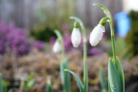 Sneeuwklokjes met druppels - Druppels op een sneeuwklokje - foto door Frenk2021 op 11-04-2021 - locatie: Veldhoven, Nederland - deze foto bevat: bloem, fabriek, sneeuwklokje, bloemblaadje, terrestrische plant, galanthus, natuurlijk landschap, gras, bloeiende plant, kruidachtige plant