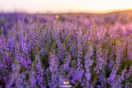 Heide in bloei.