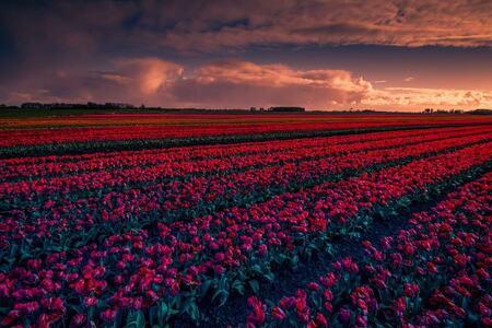 Red - Tulpen met dreigende lucht bij Oostwoud - foto door p.heins op 12-04-2021 - locatie: 1678 Oostwoud, Nederland - deze foto bevat: tulpenveld, tulpen, landschap, wolken, zonsondergang, wolk, lucht, bloem, fabriek, ecoregio, natuur, natuurlijk landschap, natuurlijke omgeving, bloemblaadje, zonlicht