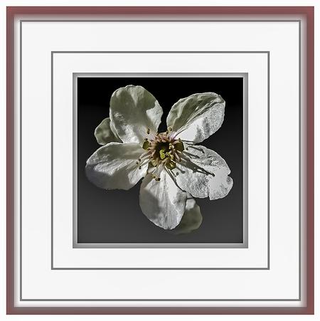 """VOORJAAR 2021 - Bloesems de """"parels"""" der natuur. - foto door jos1953 op 14-04-2021 - locatie: Hasselt, België - deze foto bevat: bloem, fabriek, bloemblaadje, takje, gebaar, rechthoek, kunst, bloesem, sieraden, glas"""