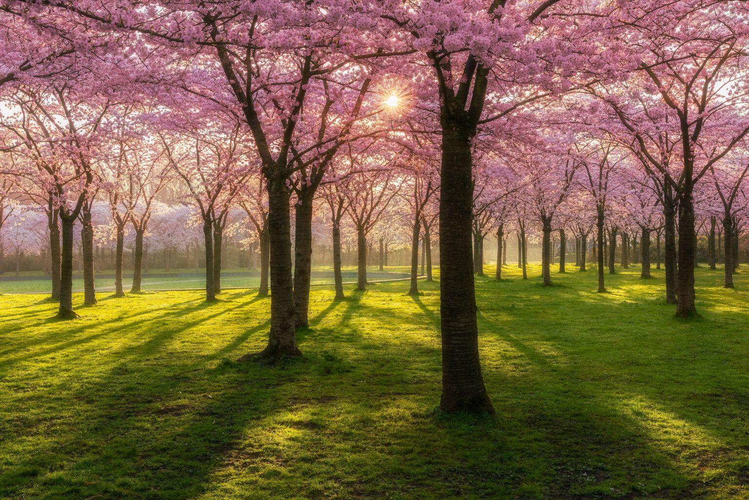 Blossomfest  - 2 weken geleden een mooie ochtend in het Amsterdamse bos gehad en dan ook maar ff de bloesem fotograferen hé ;) Daarna thuis een aardige tijd aan pho - foto door frankovitsj op 14-04-2021 - locatie: Doorweg 32, 1182 DB Amstelveen, Nederland - deze foto bevat: bloesem, lente, zonsopkomst, zon, gras, kleur, contrast, complimentaire kleur, bloem, fabriek, natuurlijk landschap, plantkunde, natuurlijke omgeving, boom, mensen in de natuur, afdeling, vegetatie, kofferbak
