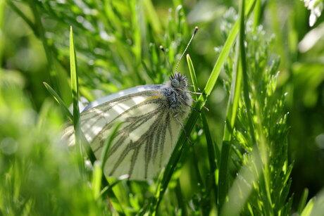 Klein geaderd witje in het gras