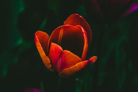 Een bijzondere tulp - Mooie en levendige tulp, close up, bijzondere kleuren - foto door Nanette99 op 13-04-2021 - locatie: Stadskanaal, Nederland - deze foto bevat: tulp, levendig, bloem, fabriek, bloemblaadje, terrestrische plant, natuurlijk landschap, gras, eenjarige plant, bloeiende plant, pedicel, kruidachtige plant