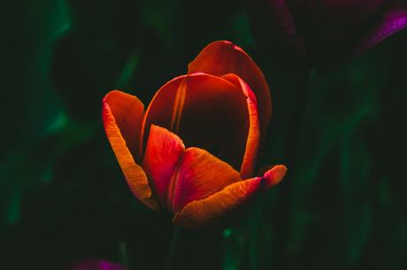 Een bijzondere tulp
