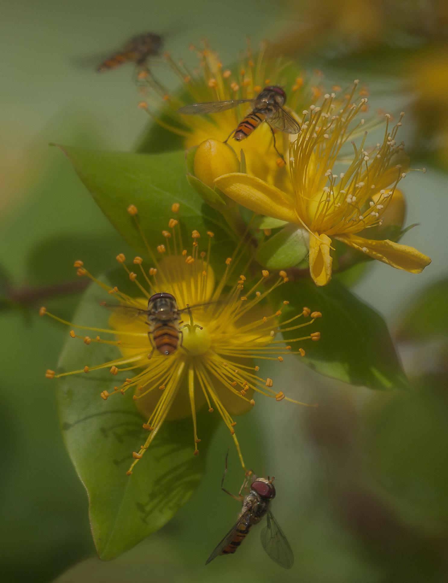 Drukte bij de hertshooi - Mooie bloemetjes trekken nou eenmaal de aandacht van mij en deze insecten - foto door AA-99 op 10-04-2021 - deze foto bevat: bloemen, insecten, bloem, fabriek, bloemblaadje, bestuiver, kruidachtige plant, insect, bloeiende plant, terrestrische plant, perforeer sint-janskruid, geleedpotigen
