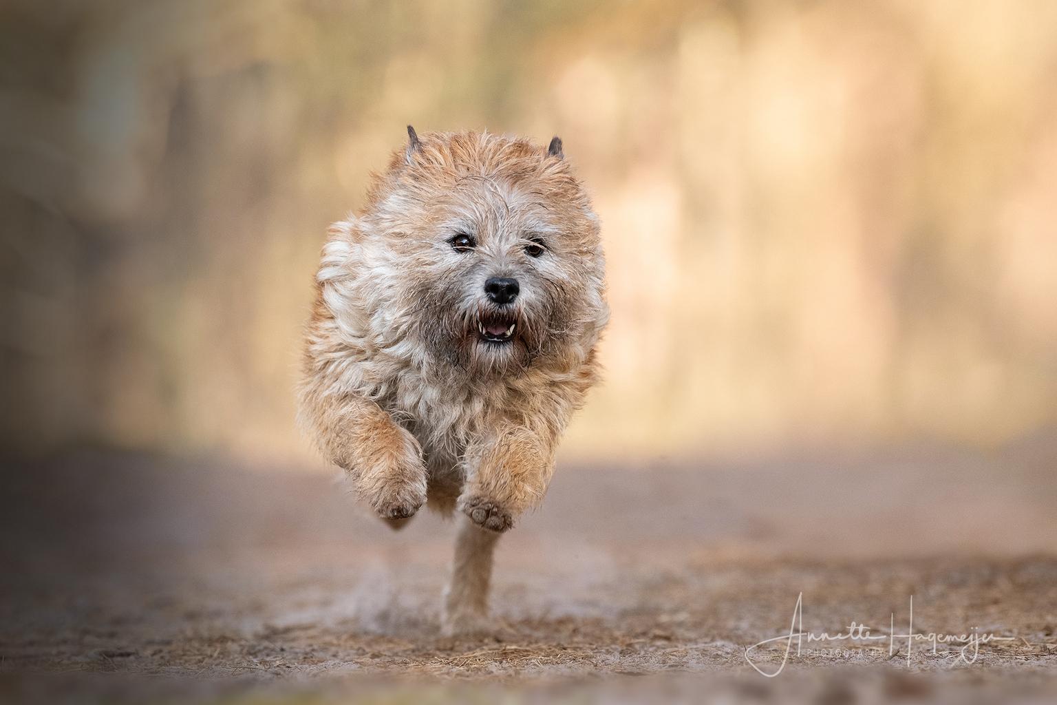 Leeuw of hond? ;-) - Cairn terrier Yara verandert in een leeuwtje als ze in actie komt! - foto door AnnetteHagemeijer op 18-04-2021 - locatie: Drenthe, Nederland - deze foto bevat: actiefoto, actie, hond, huisdier, dier, cairn terrier, terrier, kleine hond, buiten, hond, carnivoor, hondenras, metgezel hond, fawn, snuit, kleine terriër, terriër, terrestrische dieren, sportieve groep