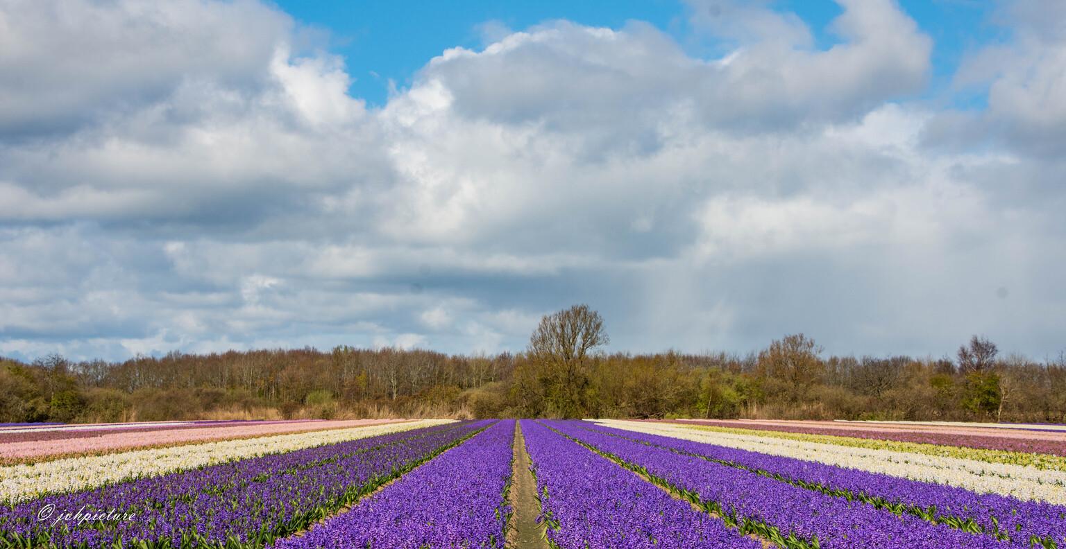 Bollenstreek - Ondanks de voorspellingen werd het een prachtige ochtend! - foto door jvhpicture op 11-04-2021 - locatie: Bollenstreek, Nederland - deze foto bevat: bloem, lucht, wolk, fabriek, mensen in de natuur, natuurlijk landschap, purper, boom, gras, landbouw