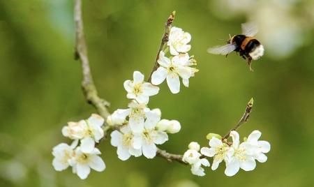 Pruimenbloesem lonkt - Volop gezoem rondom de pruimenbloesem ondanks de nog lage temperaturen - foto door GerardvO op 16-04-2021 - deze foto bevat: voorjaar, hommel, bloesem, bloem, fabriek, bestuiver, insect, bloemblaadje, geleedpotigen, takje, bloeiende plant, plaag, terrestrische plant