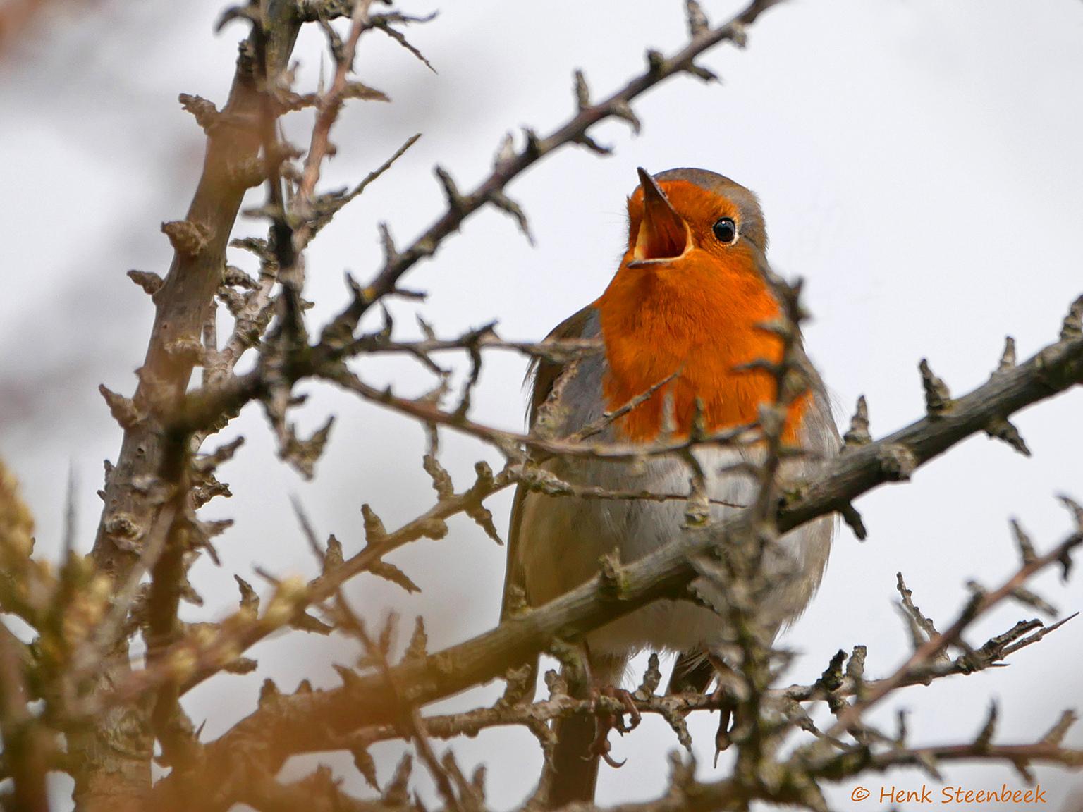 Roodborstje zingt uit volle borst - Dit roodborstje in de nog kale struik in de duinen was niet te missen, het zong uit volle borst. Nog een hele kunst om een doorkijkje in de takken te - foto door HenkSt op 04-05-2021 - locatie: Texel, Nederland - deze foto bevat: roodborstje, zangvogel, duinen, voorjaar, texel, vogel, vogel, natuur, takje, bek, lucht, zangvogel, hout, europees roodborstje, veer, neerstekende vogel