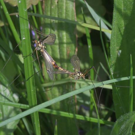 Tijgerlangpootmuggen