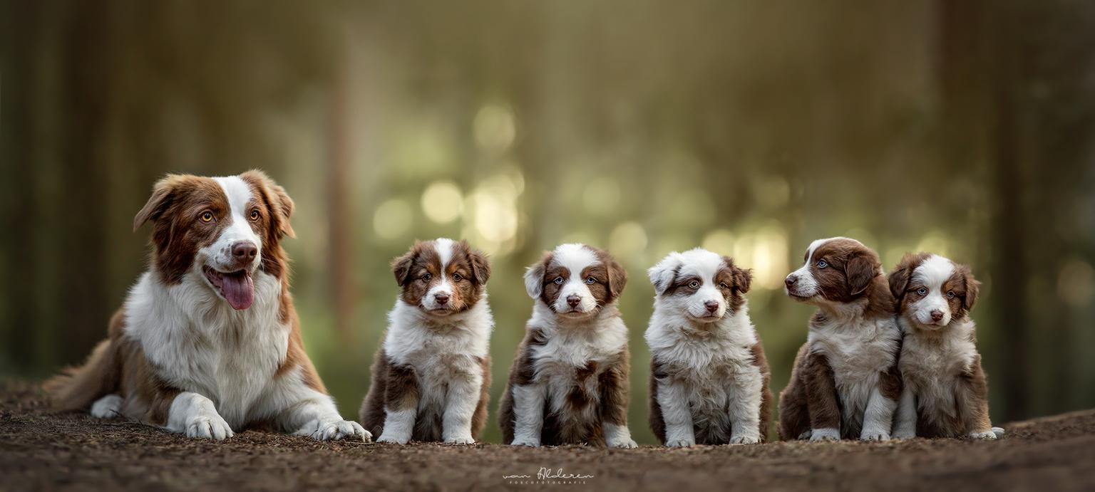Australian Shepherd puppy's - Foto van wederom een trotse mama met haar kroost. Vijf lieve pupjes lieten zich van hun beste kant zien! - foto door foscofotografie op 03-05-2021 - locatie: 5081 Hilvarenbeek, Nederland - deze foto bevat: honden, puppy, puppy's, hond, dier, dieren, bos, nestje, schattig, lief, australian shepherds, australische herders, hondenfotografie, dierenfotografie, portret, bokeh, bokeh bollen, tegenlicht, zonsondergang, natuur, scherptediepte, dof, hond, hondenras, carnivoor, lever, metgezel hond, fawn, snuit, canidae, sportieve groep, terrestrische dieren