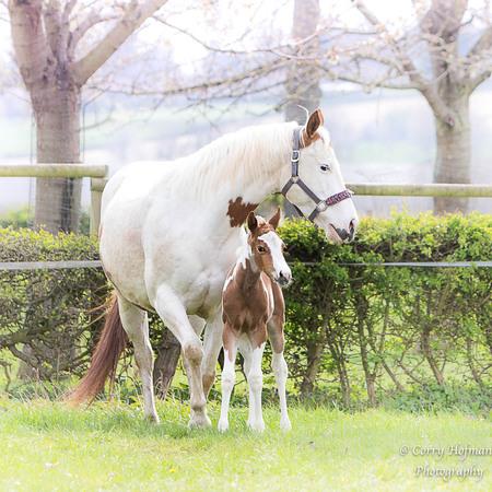 nieuw leven  - Americanpainhorse veulen van een dag oud samen met zijn moeder .  - foto door hofman-c op 12-04-2021 - deze foto bevat: paard, veulen, dier, paard, fabriek, oog, werkend dier, boom, lever, natuurlijk landschap, teugel, gras, paard bedankt