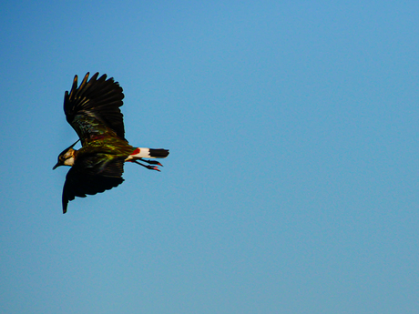 De vliegende Kievit