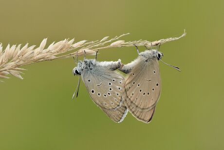 Pimpernelblauwtjes