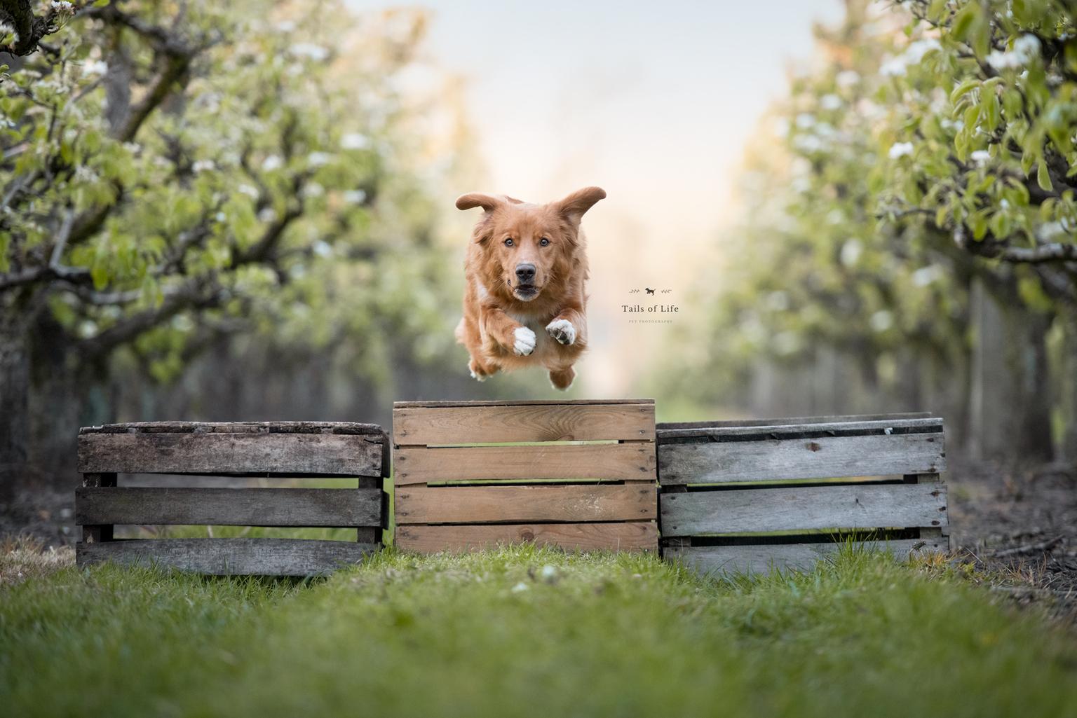 Vlieg met me mee... - ...naar de regenboog - foto door Tails-of-Life-Photography op 03-05-2021 - deze foto bevat: toller, ducktollingretreiver, bloesems, hondenfotografie, fabriek, hond, lucht, jurk, hout, natuurlijk landschap, mensen in de natuur, hondenras, carnivoor, boom