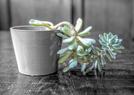 Succulent 1 - vetplant - foto door TonvanVroenhoven op 11-04-2021 - locatie: Nijmegen, Nederland - deze foto bevat: natuur, vetplant, bloem, fabriek, bloemblaadje, terrestrische plant, serveware, bloeiende plant, gras, echeveria, drinkwaren, pachyphytum