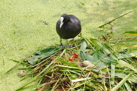 nest meerkoet
