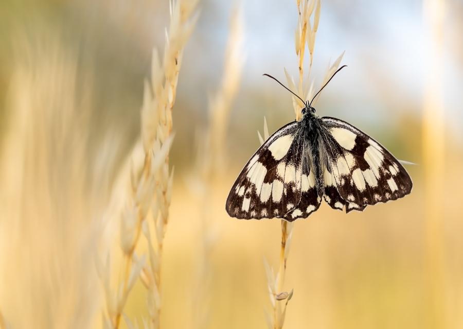 Dambordje in de opkomende zon - Dambordje in de opkomende zon - foto door khieran op 11-04-2021 - deze foto bevat: vlinder, dambordje, macro, vlinder, bestuiver, insect, geleedpotigen, motten en vlinders, fabriek, vleugel, gras, terrestrische dieren, grasland
