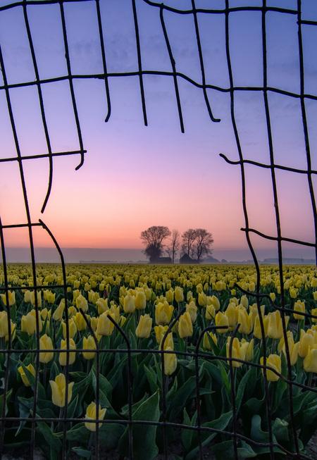 Tulpen door het hek - Op moment zitten we in een lockdown. We willen veel maar kunnen weinig. Ik wilde dit terug laten komen in een Lenten landschap foto en kwam op het id - foto door jacvson op 21-04-2021 - locatie: Goeree-Overflakkee, Nederland - deze foto bevat: landschap, lente, tulp, tulpenveld, tulpen, bloemen, hek, doorkijk, zonsopkomst, goede-overflakkee, bomen, blauwe uur, lucht, bloem, fabriek, atmosfeer, dag, ecoregio, mensen in de natuur, licht, natuur, hek