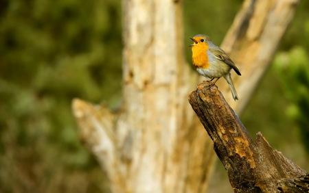 roodborst - Vanuit een vogelhut 3 van Han Bouwmeester genomen. Was een zeer geslaagde en foto rijke dag geweest.  Groet Roland - foto door RolandOudmaijer_zoom op 11-04-2021 - deze foto bevat: vogel, bek, takje, hout, kofferbak, veer, zangvogel, staart, boom, fabriek