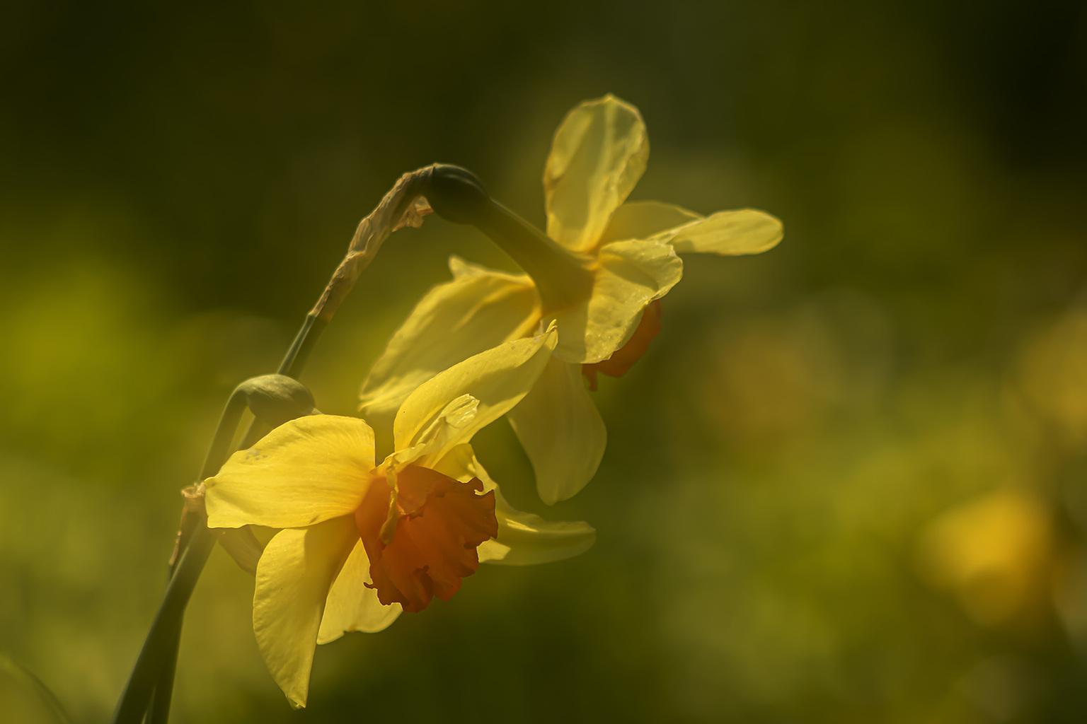 Narcissen  - Het lentegevoel.   Iedereen bedankt voor de fijne reacties bij mijn vorige opname.  - foto door Dodsi op 16-04-2021 - locatie: Clingendael, 2244 VH Den Haag, Nederland - deze foto bevat: narcissen, bloemen, geel, natuur, lente, voorjaar, zon, dubbele belichting, bloem, fabriek, bloemblaadje, terrestrische plant, gras, kruidachtige plant, pedicel, natuurlijk landschap, bloeiende plant, macrofotografie