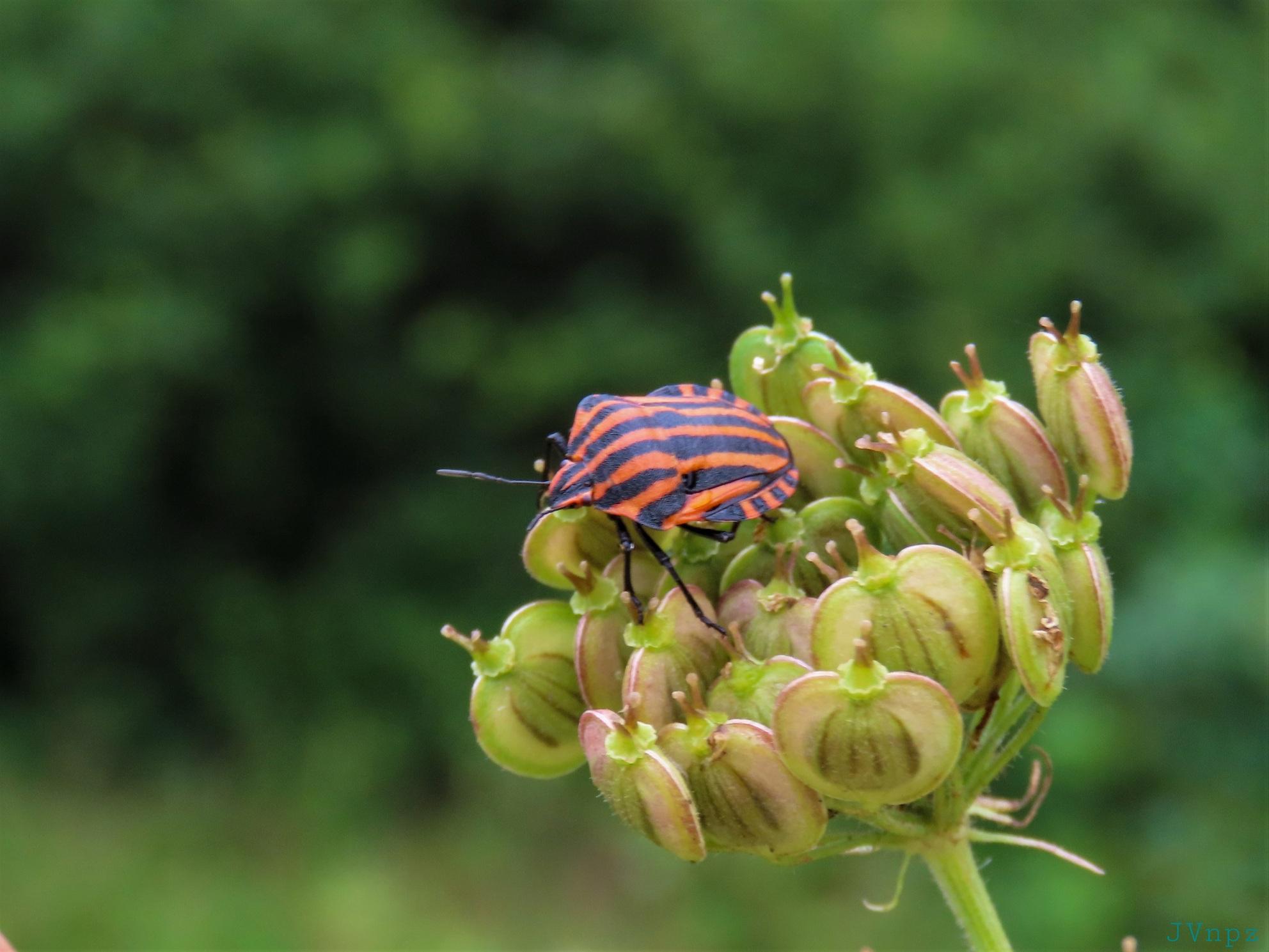Pyjamawants - Pyjamaschildwants - foto door Vissernpz op 08-04-2021 - locatie: Stichtingsterein Assen - deze foto bevat: pyjamaschildwants, pyjama, natuur, groen, insect, wants, bloem, macro, fabriek, bestuiver, bloem, insect, geleedpotigen, bloemblaadje, plaag, terrestrische plant, kruidachtige plant, insect met membraanvleugels