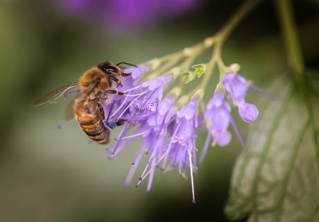 Honingbij op soort Munt