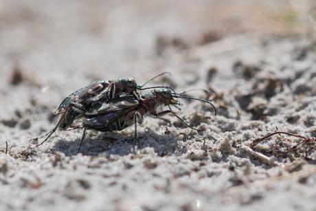 Zandloopkevers