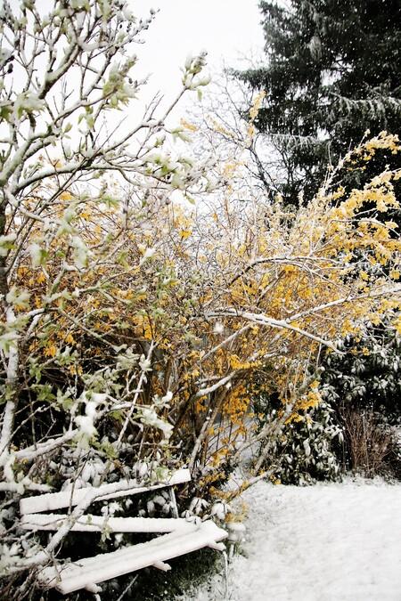April winter - de tuin in April met de Forsitia in bloei  en flinke sneeuwbui - foto door mieke58 op 08-04-2021 - locatie: 5258 Berlicum, Nederland - deze foto bevat: bankje, forsytia, sneeuw, tuin, fabriek, natuurlijk landschap, hout, takje, sneeuw, afdeling, lucht, kofferbak, geel, boom