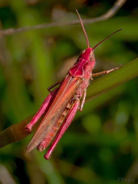 Rode Sprinkhaan