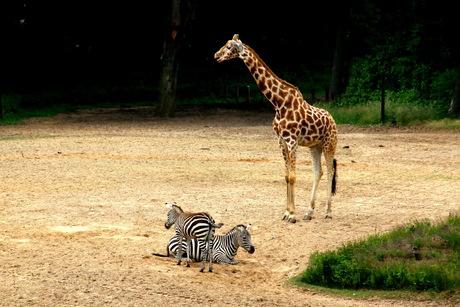 Giraffen -2-