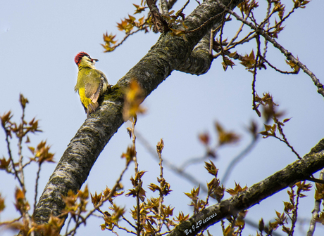 the Green Woodpecker