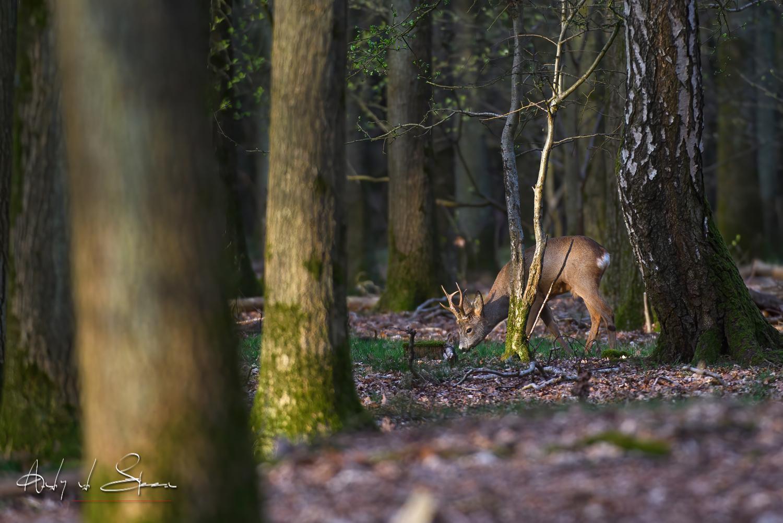 reebok - Foeragerend reebokje - foto door AndyvdSteen op 16-04-2021 - locatie: Westerheide, 1222 Hilversum, Nederland - deze foto bevat: ree, reebok, reetje, ree'tje, reebokje, reeën, reetjes, ree'tjes, dier, wildlife, natuur, westerheide, fabriek, hout, natuurlijk landschap, boom, takje, kofferbak, terrestrische plant, fawn, gras, tinten en schakeringen