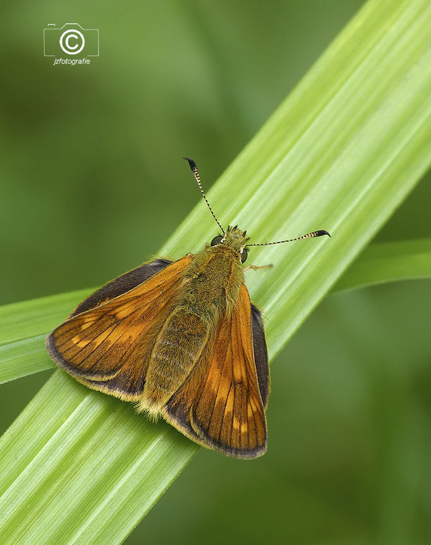 Dikkopje  - Vorig jaar gefotografeerd , volgens mij is het een dikkopje  ( mocht het anders zijn hoor ik het graag )  Zoomers bedankt voor alle mooie reacties bi - foto door jzfotografie op 18-04-2021 - deze foto bevat: vlinders, dikkopje, kleuren, stengel, oranje, bruin, groen, diagonaal, natuur, contrasten, sony, dof, scherpte, bestuiver, insect, geleedpotigen, vlinder, thymelicus, motten en vlinders, lulworth-schipper, schipper (vlinder), minste schipper, essex schipper
