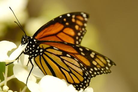 Vlindertuin Philodila