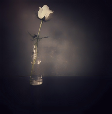 A white rose in a bottle.