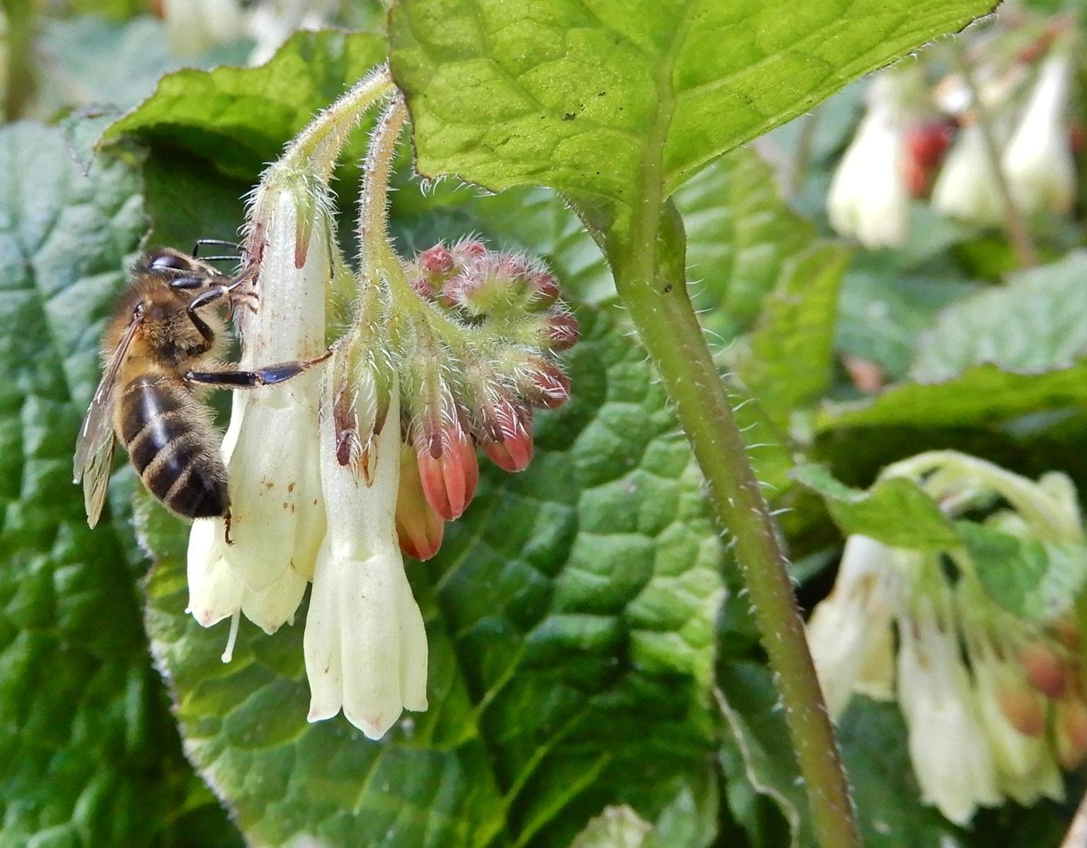 de tafel is gedekt - het insect is op zoek naar iets eetbaars en landde dus op deze bloem waarvan ik de naam niet weet, er stonden er een heleboel bij elkaar en het gonsd - foto door Tonny1946 op 17-04-2021 - locatie: Bunnikseweg 39, 3732 HV De Bilt, Nederland - deze foto bevat: insec, witte bloem, roodachtige knoppen, groene blaadjes, voorjaar, 16 april 2021, bloem, fabriek, bestuiver, geleedpotigen, insect, groen, blad, bloemblaadje, plaag, honingbij