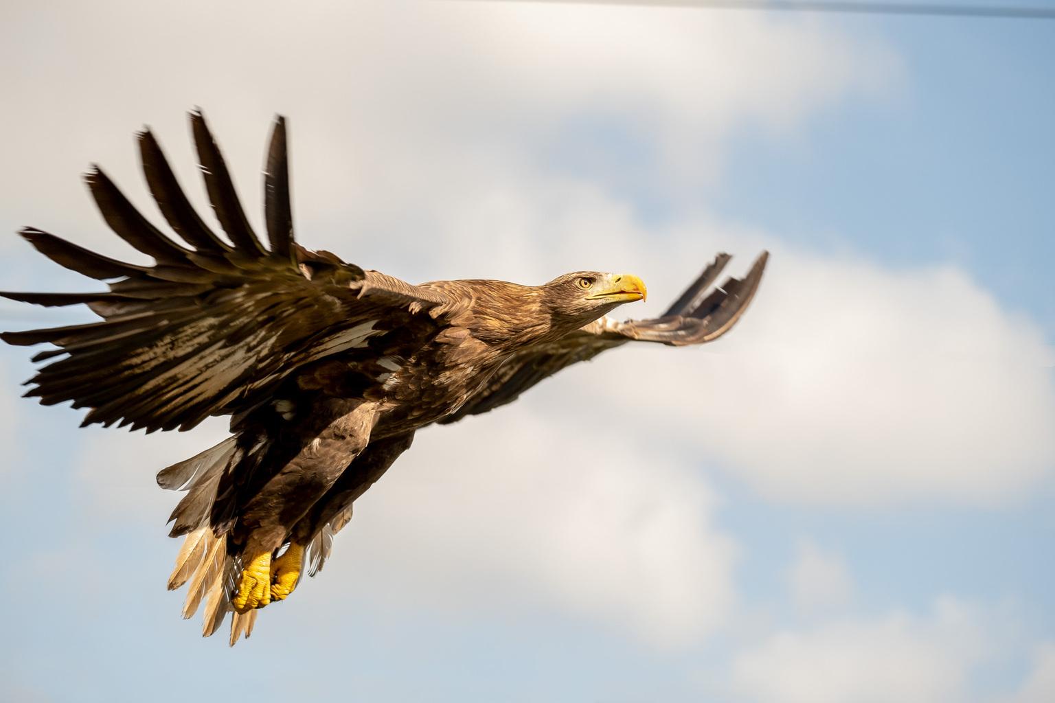 Higher and higher... - Zee arend in de vlucht - foto door diana10 op 10-04-2021 - deze foto bevat: roofvogels, zee arend, europese zeearend, wolk, lucht, vogel, accipitridae, bek, falconiformes, roofvogel, hout, accipitriformes, veer