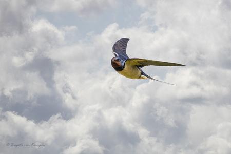 Come fly with me - Boerenzwaluw Als niet vogel fotograaf ben ik hier wel heel errug blij mee, jooo wat zijn die jongens snel! - foto door Puck101259 op 12-04-2021 - locatie: Zuidplas Kraaiennest - deze foto bevat: brigitte, brigitte van krimpen, vogel, zwaluw, vlucht, vliegbeeld, voorjaar, wolken, lucht, vogels, wolk, lucht, vogel, bek, vleugel, veer, staart, vlucht, elektrisch blauw, cumulus